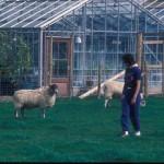 dawn sheep2 small