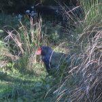 New Zealand's endemic, flightless, herbivore, the takahe