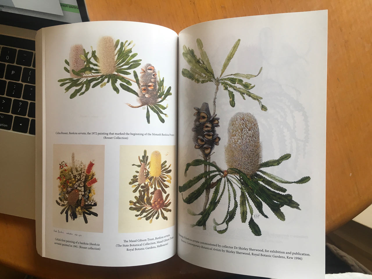 Some Banksia illustrations by Celia Rosser